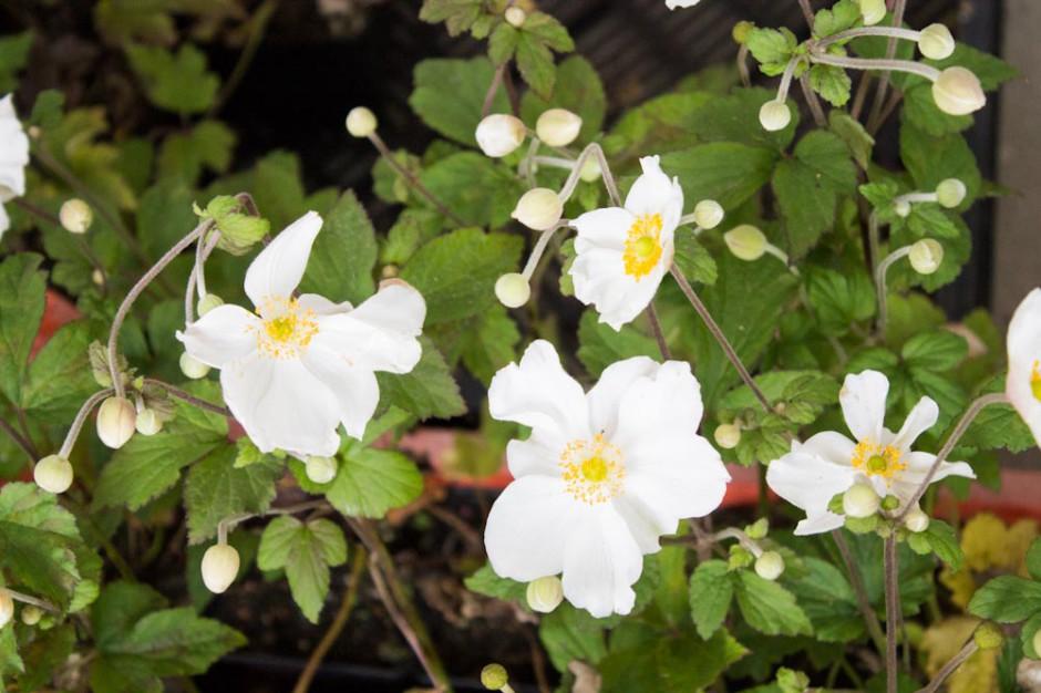 Magnoliasingel (5)